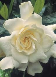 gardenia nz - Google Search