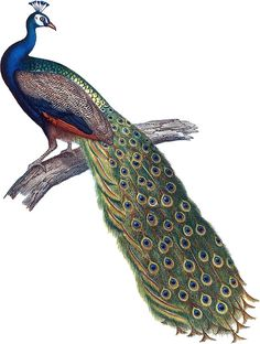 'Indian Peacock' Sticker by TheLoxodonta Parrot Painting, Peacock Painting, Dark Planet, Shree Krishna Wallpapers, Indian Peacock, Peacock Photos, Peacock Tattoo, Bird Clipart, Clay Wall Art