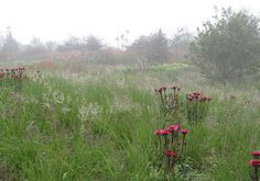 Piet Oudolf's garden in Hummelo - wonderful red colour in combination with green grasses