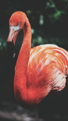 86 Best Fancy Flamingos Iphone Wallpapers Images Flamingo