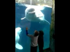 Mystic aquarium CT...Belugas tease our three kids. Actually telling them to back off. What they are seeing is a threat display