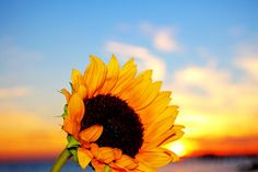beautiful sunflower in the sunset