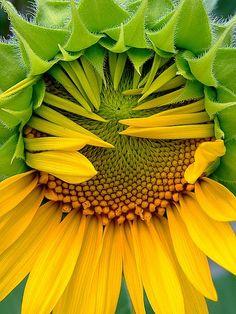 ❥ sunflower waking up