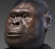 "This is an Australopithecus Afarensis- ""Australopithecus afarensis is an extinct hominid that lived between 3.9 and 2.9 million years ago. A. afarensis was slenderly built, like the younger Australopithecus africanus""."