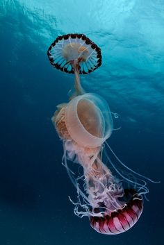 Drymonema catches sea nettles(The two sea nettles are a very cool species, Chrysaora fulgida) in South Africa