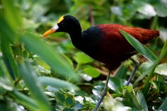 Northern Jacana @Costa Rica @Andreas Grieger Photography