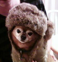 Chunk my Chihuahua wearing a fur hat...
