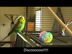 Disco The Parakeet Reciting Phrases From Pop Culture, Films and Television Funny Birds, Cute Birds, Pretty Birds, Beautiful Birds, Talking Parrots, Talking Animals, Parakeet Bird, Parakeet Colors, Softies