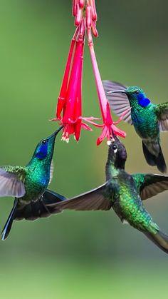 Green Violetear (Colibri Thalassinus) F Pretty Birds, Beautiful Birds, Animals Beautiful, Cute Animals, Beautiful Things, Beautiful Pictures, All Birds, Little Birds, Love Birds