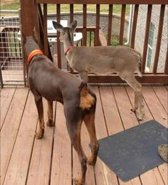 is there an echo? Classic Doberman family dog style