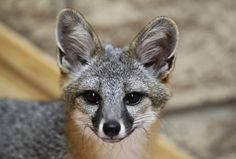San Clemente Island Fox San Clemente Island, Like Animals, Reference Images, Red Fox, Foxes, All Art, Cubs, Animal Pictures, Funny Memes