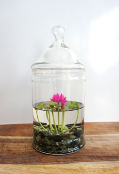 RESERVED - Tiny Pink Lotus Water Lily Terrarium in Glass Vase