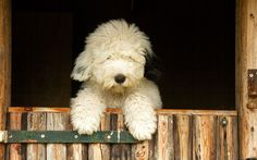 What a preciously cute Old English Sheepdog pup. What a preciously cute Old English Sheepdog pup. Sheep Dog Puppy, Sheep Dogs, Old English Sheepdog Puppy, Pet Dogs, Dog Cat, Bearded Collie, Dog Rules, Beautiful Dogs, Dog Pictures