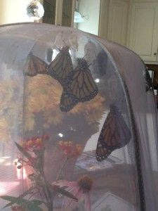 Monarchs newly emerged from chrysalides in Native Nurseries' Butterly/Caterpillar Rearing Cage