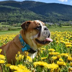 I live in SouthTyrol IT and i love my Bulldogs Gino&Camilla & my wife @sunshinebaby82. Mail: celio24bulldog@gmail.com . Dedicated to my boy Teo .