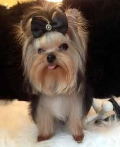 Future Male Yorkie Breeder For Chocolate Parti Yorkie Breeding Program.  Our parti Yorkies for sale can be found at http://www.elvisyorkshireterrier.com/parti-yorkies-for-sale.php