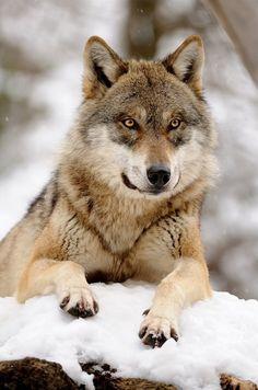 wolveswolves:    BySvenimal on DeviantArt