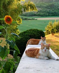 a pair of ginger cats.