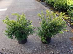 Taxus Baccata 'Summergold' in pot (25-30cm)