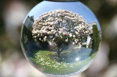 Magnolien...eigenes Photo