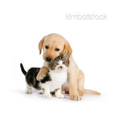DOK 01 RK0575 01 - Yellow Labrador Retriever Puppy Hugging Tabby... ❤ liked on Polyvore featuring animals, dogs, kitten, pets and puppy
