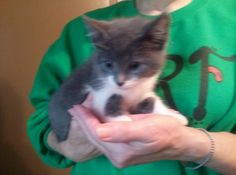 Sterling is a sweet kitten looking for family to spoil him.