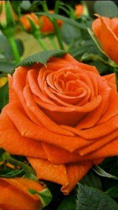 Beautiful Flowers Wallpapers, Beautiful Rose Flowers, Exotic Flowers, Amazing Flowers, Pretty Flowers, Rose Flower Pictures, Flower Images, Rose Flower Wallpaper, Most Popular Flowers