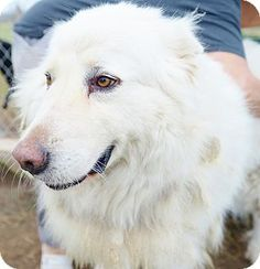 ADOPTED!!!!!!!!!!! Iola, TX - Great Pyrenees. Meet Oso, a dog for adoption. http://www.adoptapet.com/pet/15108468-iola-texas-great-pyrenees