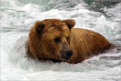 Wildlife Grizzlybär 8 Bilder: Poster von Max Steinwald bei Posterlounge.de