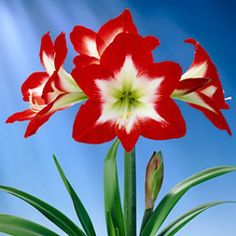 "The gorgeous ""Full House"" Amaryllis - buy now and grow in a pot inside the house - Healthy bulbs may bloom at Christmastime!"