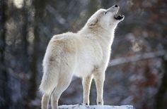Полярный волк - красавец. Рождаются черноглазыми, как будто в очках.
