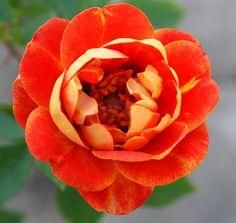 Persian Sunset - SechzehnEichen RosenSchätze