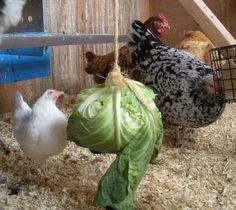 Avoid Chicken Boredom with enrichment activities | HenCam.  Great ideas, great pictures! Thank you Mal!