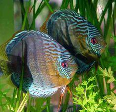 Symphysodon aequifasciata aequifasciata: wild green discus
