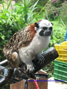 Squirrel Monkey - this one is owned by a fellow from #El #Valle #Panama and the monkey is on a leash and sits on the handlebars of the man's bike as he rides through town.  www.panamaroadrunner.com