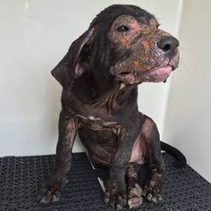 Pledges and rescue needed badly.... Zorro #19274  NEEDS IMMEDIATE RESCUE! This sweet little puppy's stray hold is up on the 27th at 1pm. We suspect he has demodectic mites (we did the scrap test but no mites showed up due to a lime dip the previous day). He is super friendly & just wants lovin'...Douglas County Animal Shelter, Douglasville GA, 770-942-5961 https://www.facebook.com/photo.php?fbid=10201802929232594&set=a.1306320475758.33677.1762925329&type=3&theater