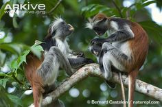 Kirk's red colobus adults with young grooming -endangered Extinct And Endangered Animals, Endangered Species, Primates, Mammals, Old World, Africa, Lemurs, Wild Animals, Monkeys