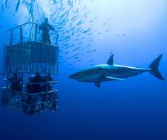 Cage Dive With Sharks. I have literally always wanted to do this. Hawaii offers one where you SNUBA (not scuba). I would LOVE it! (Idk how Hubby would feel, but I bet he'd be right next to me holding my hand and giving me *that* look through his goggles. :)