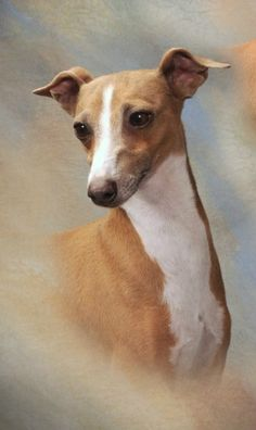 This page charts the development of an Italian Greyhound from the age of 9 weeks up until his present 11 years. The dog is Simon who is the record breaking sire and has continued his early success in the showring right through to veteran winning CCs through at 7,8,9,and 10 years in the UK as well...