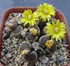 Succulent Sundae: LITHOPS DOROTHEAE