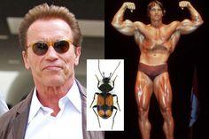 Agra schwarzeneggeri (Arnold Schwarzeneggeri)