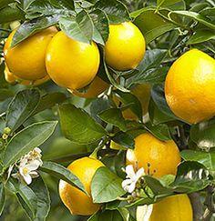 Lemon tree for lemonade, salad dressing, morning green juice, lemon coconut bars, ceviche...