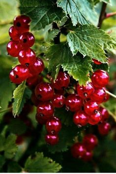 Red currants – Gardening ideas - Home Decor ideas Fruit Plants, Fruit Garden, Fruit Trees, Fruit And Veg, Fruits And Veggies, Fresh Fruit, Beautiful Fruits, Beautiful Flowers, Photo Fruit