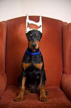 Doberman Pinscher #Dogs #Puppy