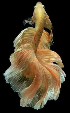 Some interesting betta fish facts. Betta fish are small fresh water fish that are part of the Osphronemidae family. Betta fish come in about 65 species too!