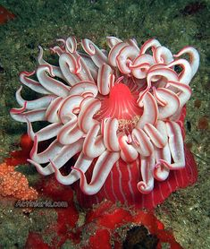 Actiniaria or sea anemones