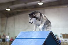 Clicker training for agility and fun. How to begin whether you have a puppy or a older dog.
