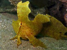Golden Crested Weedfish (Cristiceps aurantiacus)