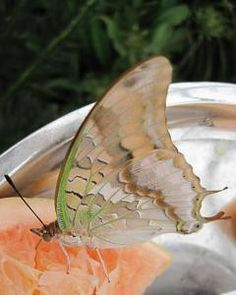 Green-veined Charaxes (Charaxes candiope)