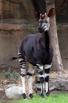 Okapi Interesting Animals, Unusual Animals, Rare Animals, Animals And Pets, Funny Animals, Wild Animals, Beautiful Creatures, Animals Beautiful, Haida Kunst